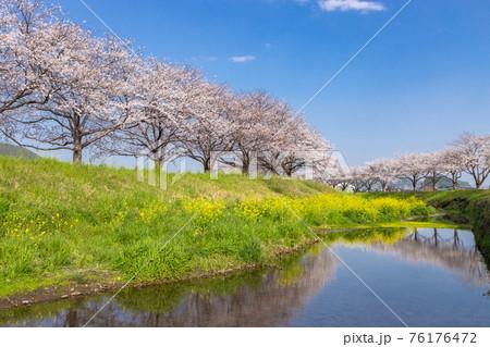 草場川沿いの桜並木と菜の花の風景 福岡県筑前町 76176472