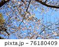 春の爽やかな青空に映える桜の花 76180409