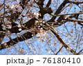 春の爽やかな青空に映える桜の花 76180410
