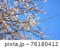 春の爽やかな青空に映える桜の花 76180412
