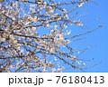 春の爽やかな青空に映える桜の花 76180413