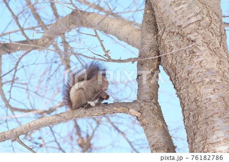 木の枝に登り松ぼっくりを食べる冬のエゾリス 76182786