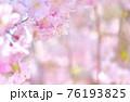 しだれ桜 背景素材 76193825