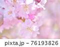 しだれ桜 背景素材 76193826