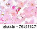 しだれ桜 背景素材 76193827