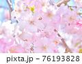 しだれ桜 背景素材 76193828