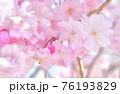 しだれ桜 背景素材 76193829