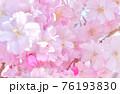 しだれ桜 背景素材 76193830