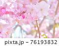しだれ桜 背景素材 76193832