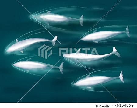 泳ぐシロイルカのイラスト 76194058