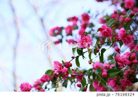 可愛いピンクの椿の花 76198324
