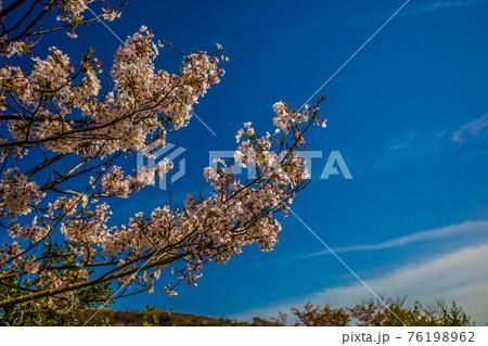 鮮やかに青い空の下に咲いた桜の花 76198962