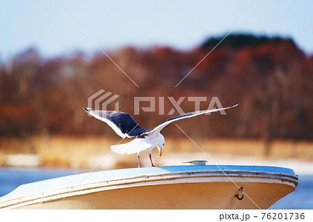 停泊する漁船に止まろうとする1羽のカモメ 北海道 76201736