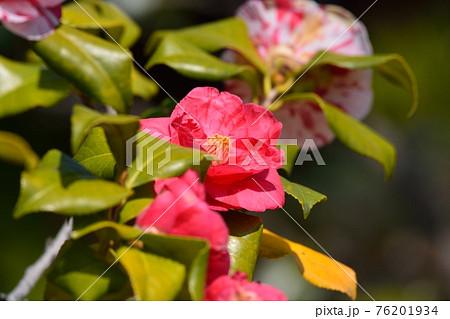 椿の花 76201934