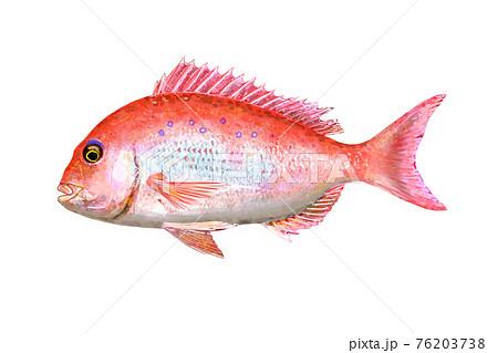 鯛の水彩画 76203738