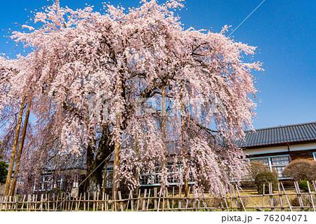 (長野県)桜咲いた 旧山本中学校木造校舎 杵原学校 76204071