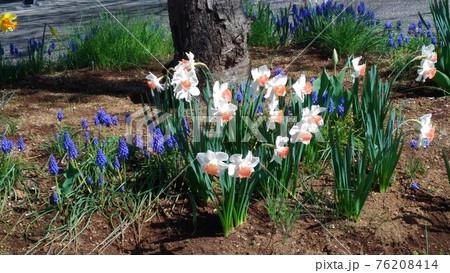 習志野市サクラ広場のスイセンとムスカリの花 76208414