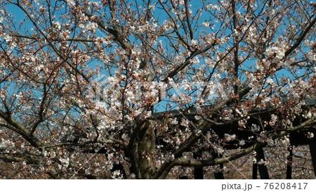 習志野市サクラ広場のもうすぐ満開になるソメイヨシノ 76208417
