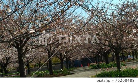 習志野市サクラ広場のもうすぐ満開になるソメイヨシノ 76208488