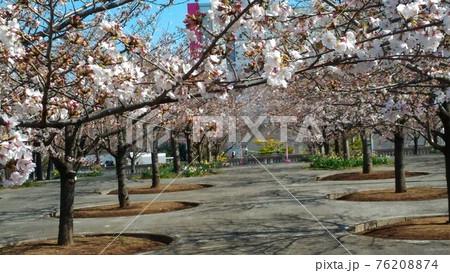 習志野市サクラ広場のもうすぐ満開になるソメイヨシノ 76208874