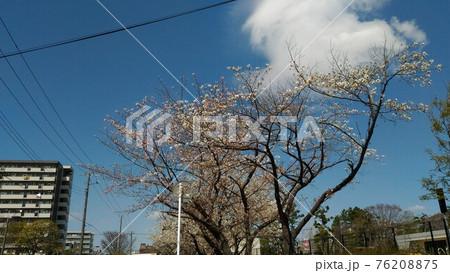 こじま花の会花畑の八分咲きのオオシマザクラ 76208875