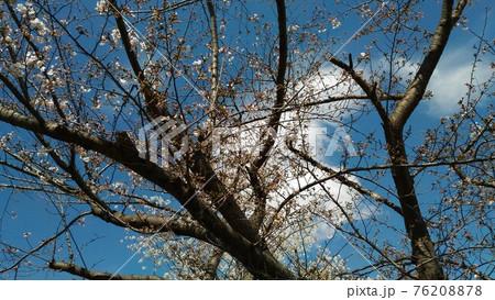 こじま花の会花畑の八分咲きのオオシマザクラ 76208878