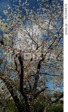 こじま花の会花畑の八分咲きのオオシマザクラ 76208879