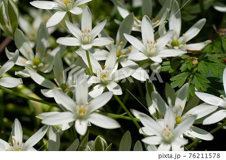 オリヅルランの白い花 クローズアップ 76211578