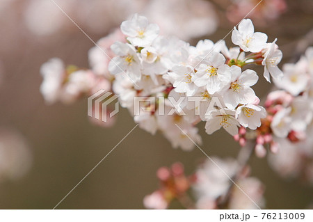 春の日差しを浴びる満開のソメイヨシノ 76213009
