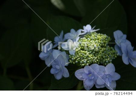 梅雨空に光が射す朝の淡いあじさいの花 76214494