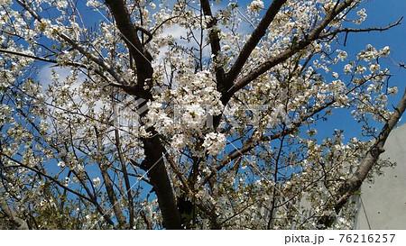 こじま花の会花畑のほぼ満開のヤマザクラ 76216257