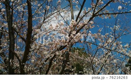 葉桜になった高洲スポーツセンター前のソメイヨシノ 76216263
