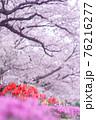 道の脇に咲いている桜とチューリップと紫色の花 76216277
