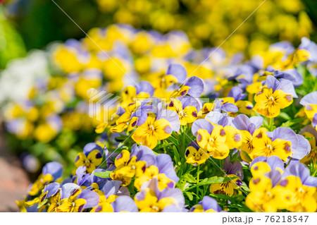 満開の花畑 76218547