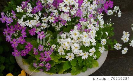 白色と桃色のサクラソウの花 76219284
