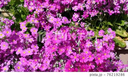 桜草の桃色の花 76219286