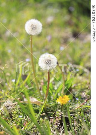 春の野草 タンポポとオオイヌノフブリ  76220840