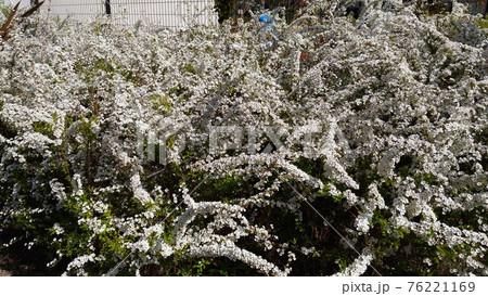 白い小さい花を枝垂た枝全体に咲かすユキヤナギの花 76221169