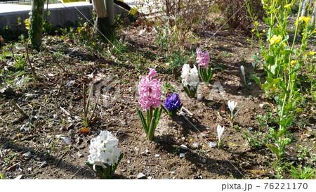 こじま花の会花畑のヒヤシンスの花 76221170