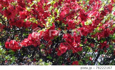 赤色の奇麗な花はボケの花 76222167