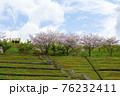 丘の上の桜 76232411