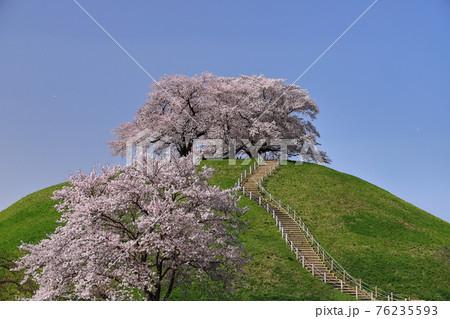 埼玉県行田市 さきたま古墳公園丸墓山古墳の桜 76235593