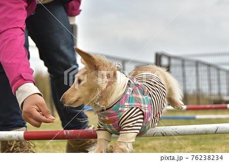 アジリティーをする犬 76238234