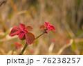 春が来て赤い若葉が生えてきた2 76238257