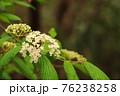 木陰でひっそりと咲くガマズミ1 76238258