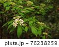 木陰でひっそりと咲くガマズミ2 76238259