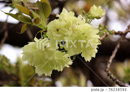 花びらが開き始めた妙正寺川沿のウコン桜(1) 76238593