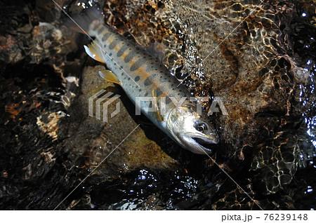 小菅川上流の尾数制限のあるエリアで釣れたパーマークの綺麗なヤマメ 76239148