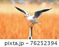 翼を広げる杭上のユリカモメ(冬羽) 76252394