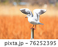 翼を広げる杭上のユリカモメ(冬羽) 76252395